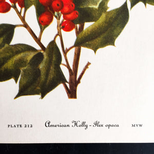 1950's Holly Berry Botanical Print - American Holly & Yaupon Cassena- Wild Flowers of America Bookplates