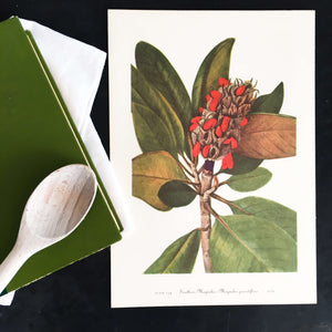 Vintage Southern Magnolia Botanical Print -1950's Wild Flowers of America Bookplate