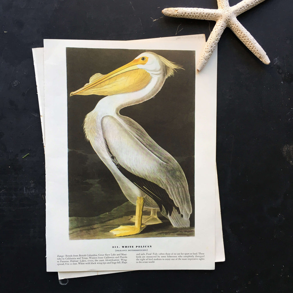Vintage White Pelican Bird Bookplate from John James Audubon Birds of America - 1967 Edition