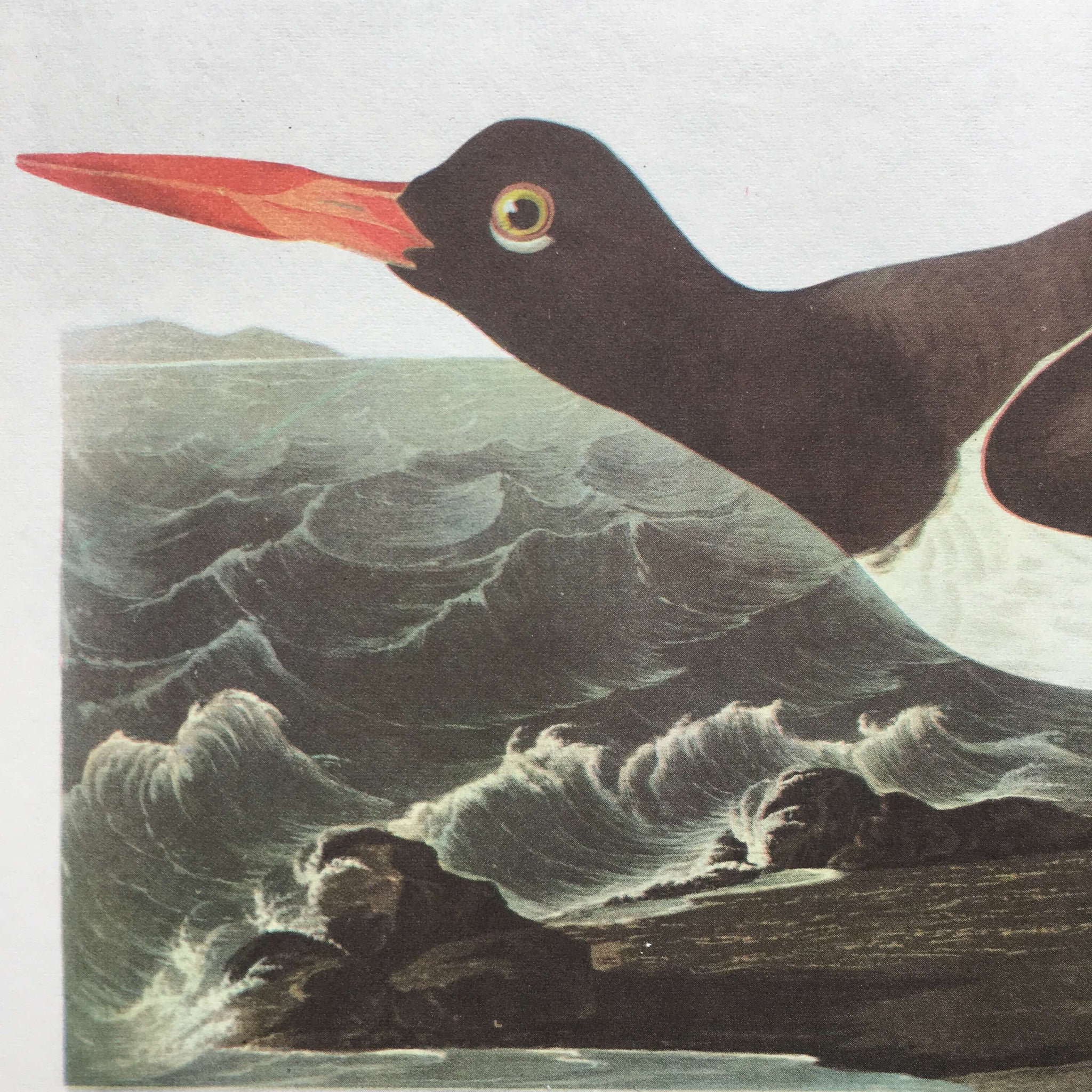 Vintage 1960s Seagull Bird Print Botanical - Kittiwakes & Oyster Catchers - John James Audubon