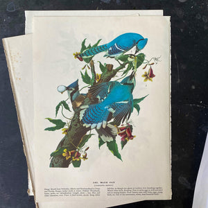 Vintage Raven & Blue Jay Bookplates - John James Audubon Birds of America - 1967 Edition