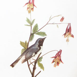 Vintage Crow Bird Print - Audubon's Birds of America - Black Throated Blue Warbler - 1960s Edition