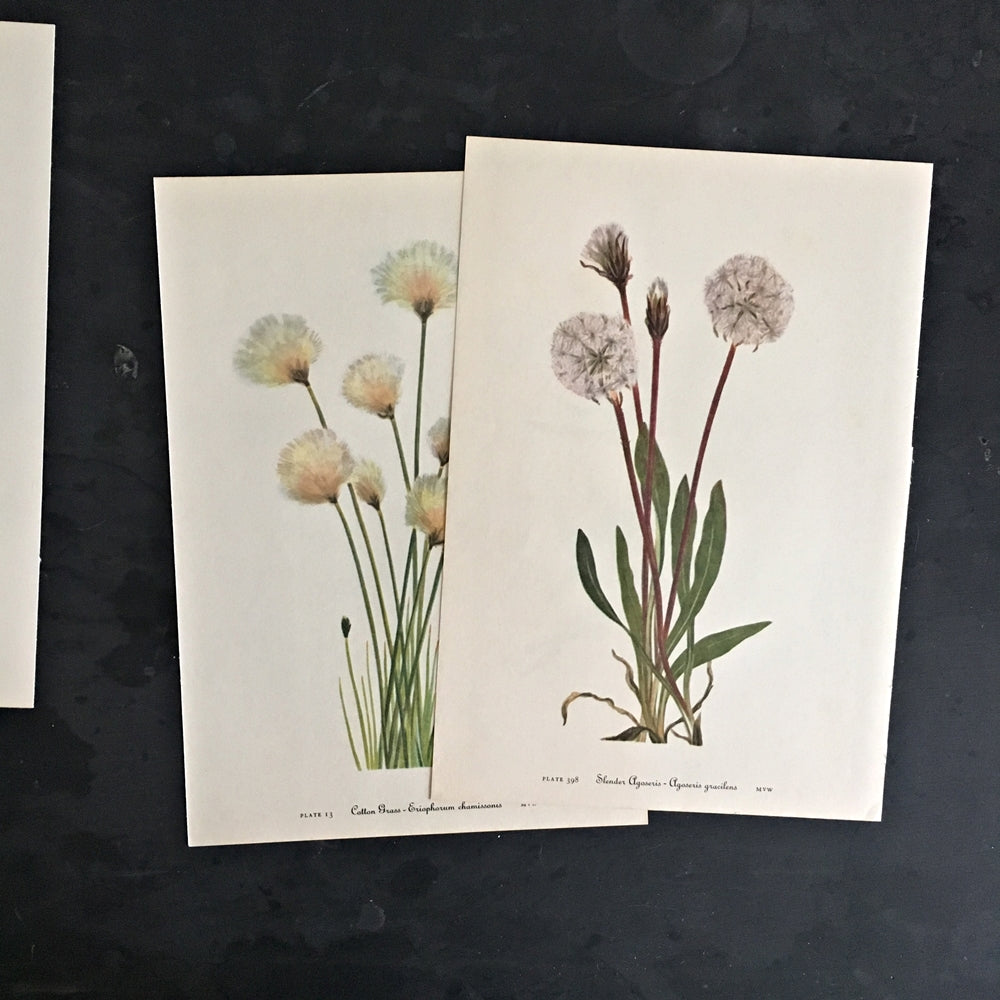 Two 1950's Botanical Prints - Dandelion-Like Wishing Flowers - Cotton Grass and Slender Agoseris