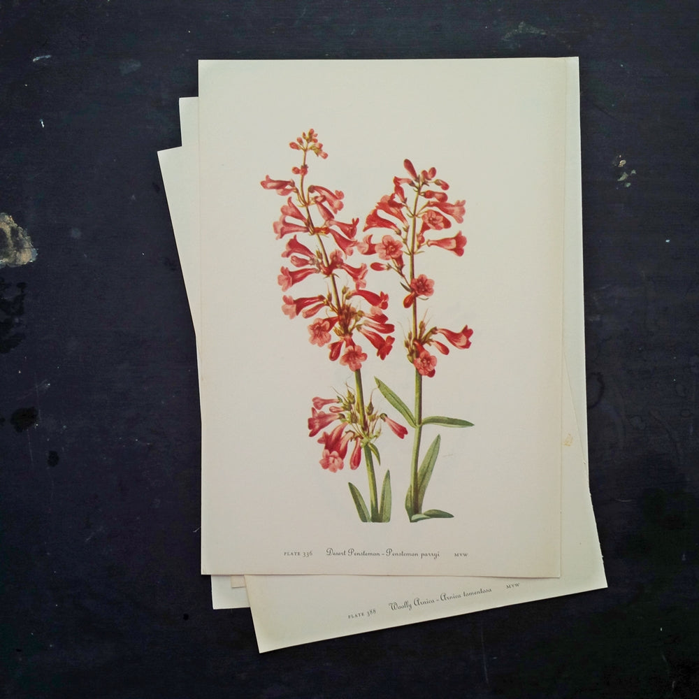 1950's Floral Botanical Print - Desert Penstemon & Rock Penstemon - Wild Flowers of America