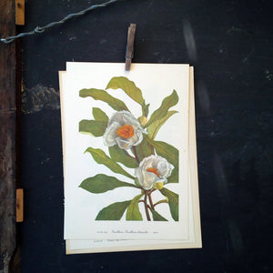 Vintage Wildflower Botanical Prints - Franklinia & Stewartia - 1950's Bookplate No. 224, 225