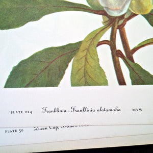 Vintage Wildflower Botanical Prints - Franklinia & Stewartia - 1950's Bookplate No. 224, 225 from Wild Flowers of America by Mary Vaux Walcott Printed in 1953