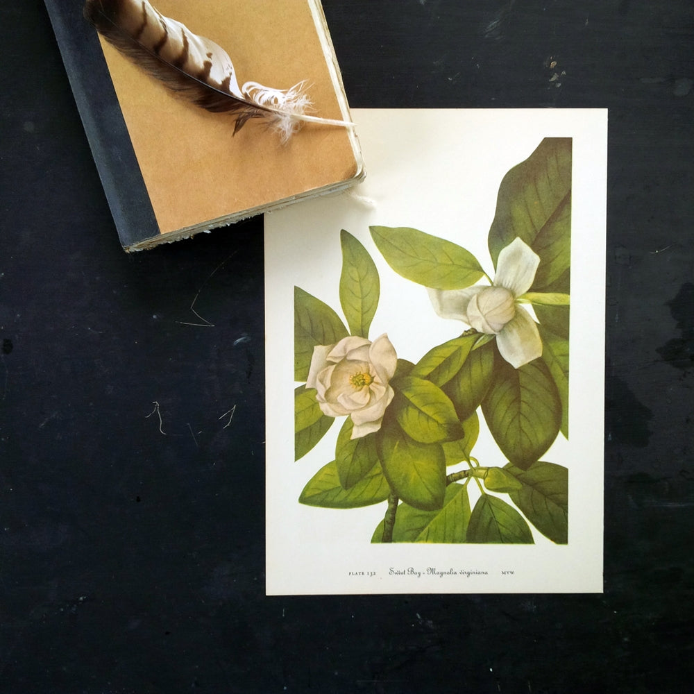 Vintage Botanical Prints - Magnolia & Leather Flower- 1950's Bookplate No. 131, 132 from Wild Flowers of America by Mary Vaux Walcott Printed in 1953