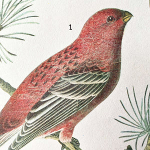 Vintage Magpie Bird Bookplate - Pine Grosbeak & Magpie Prints - John James Audubon Birds of America - 1967 Edition