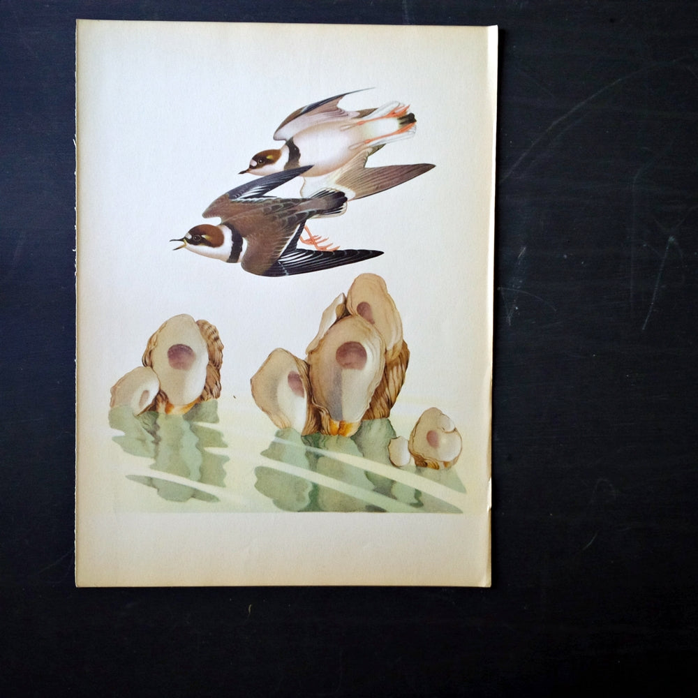 1950's Plover and Oyster Bird Print - Menaboni's Birds Bookplate