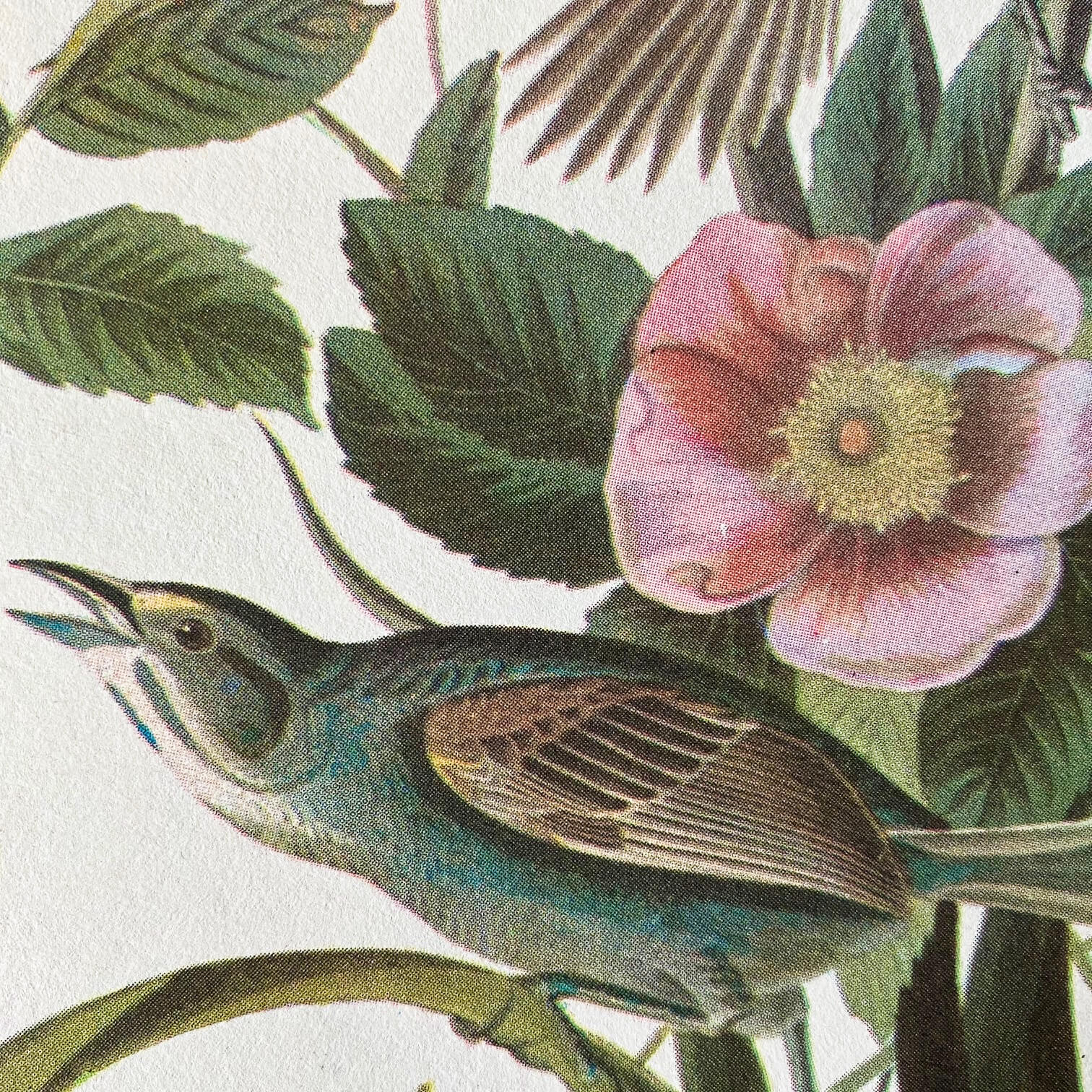 Vintage Sparrow Birds Bookplate - Vesper Sparrow & Seaside Sparrow - John James Audubon Birds of America - 1967 Edition