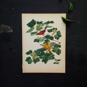 1950s Bird Botanical Print - Summer Tanagers - Vintage Menaboni Bird Prints