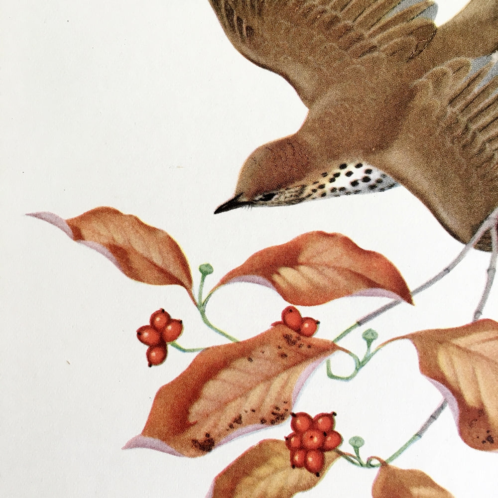 Vintage Wood Thrush Bird Print - 1950s Bird Botanical Illustration by Menaboni