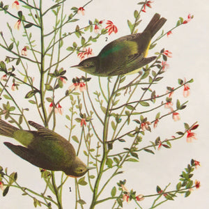 1960s Audubon Bird Prints - White Crowned Pigeon & Orange Crowned Warbler - John James Audubon