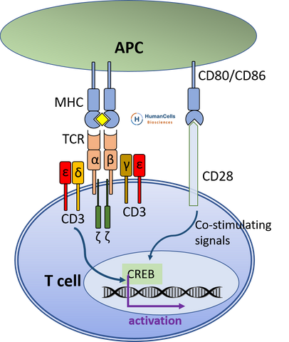 CD3 TCR T cell activation