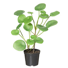 Chinese Money Plant In Garden Pot Artificial Plant
