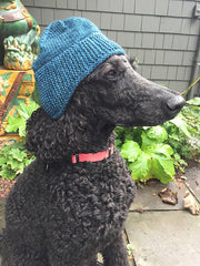 Black standard poodle modeling a blue hat with ear flaps