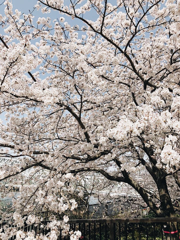 Sakura - Big In Japan,  Big In Beauty!