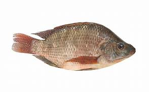 Royal Sea Food Tilapia Noir 600-800g(per piece)