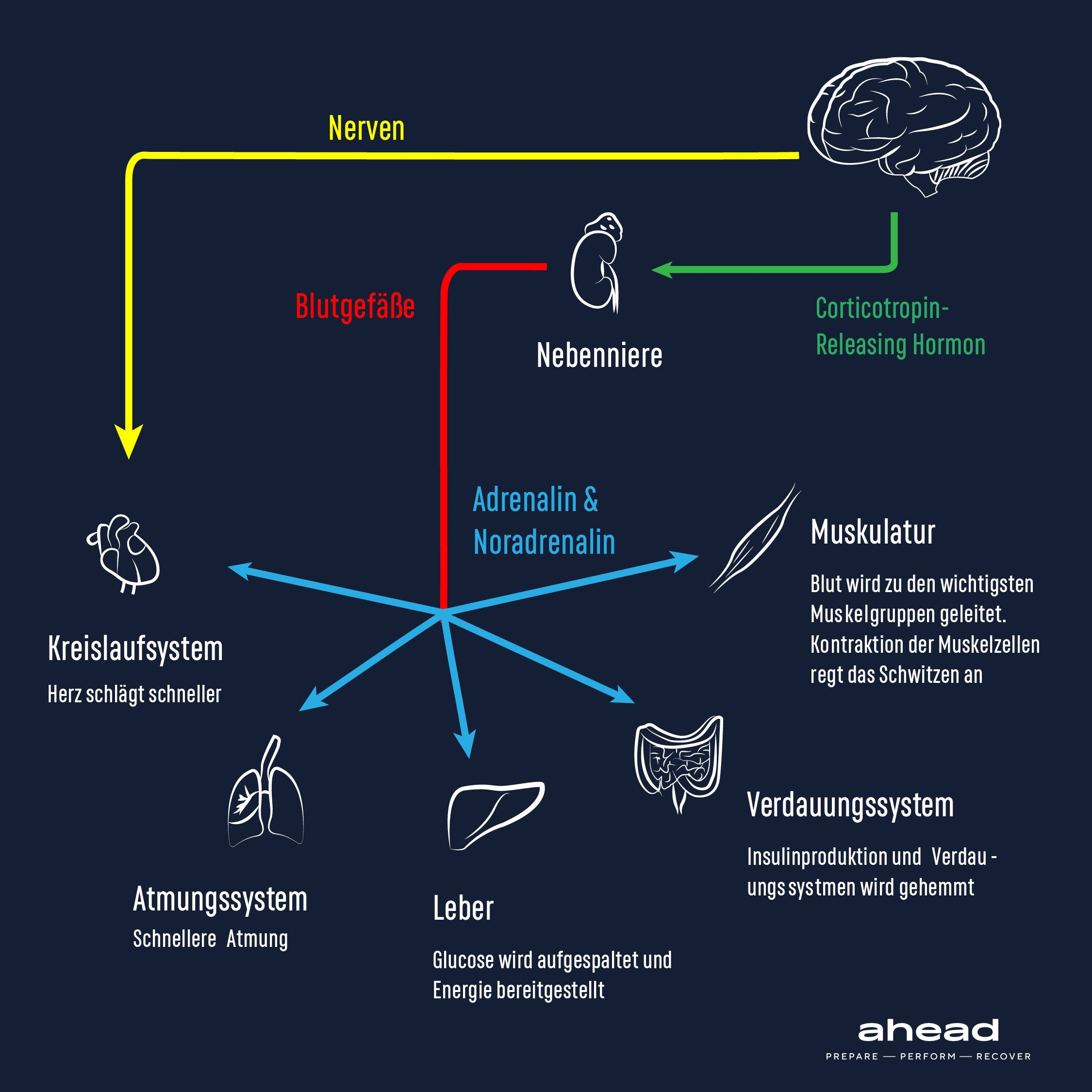 Adrenaline and Noradrenaline: How the neurotransmitters work in your body