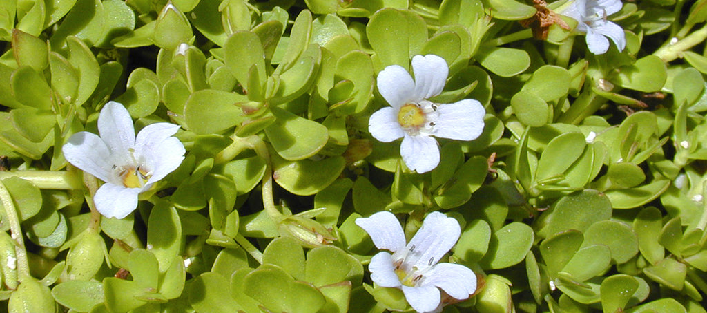 Brahmi: superfood & medicinal plant