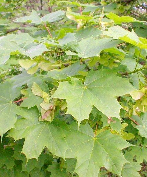 Norway Maple Tree Gift - Trees to Plant