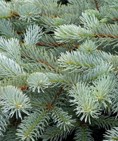 Blue Spruce Trees - Picea pungens - Trees to Plant
