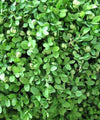 Box Hedging - Buxus sempervirens - Trees to Plant