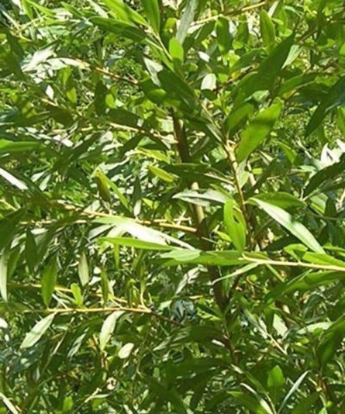 Common Osier Trees - Salix viminalis - Trees to Plant