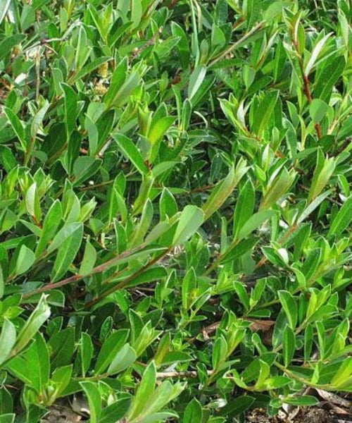 Creeping Willow - Salix repens - Trees to Plant