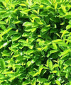 Cherry Laurel - Prunus laurocerasus - Trees to Plant