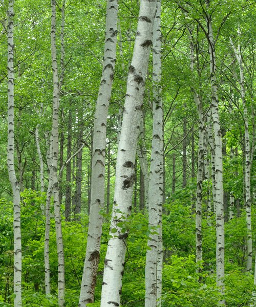 Silver Birch Favour - Trees to Plant