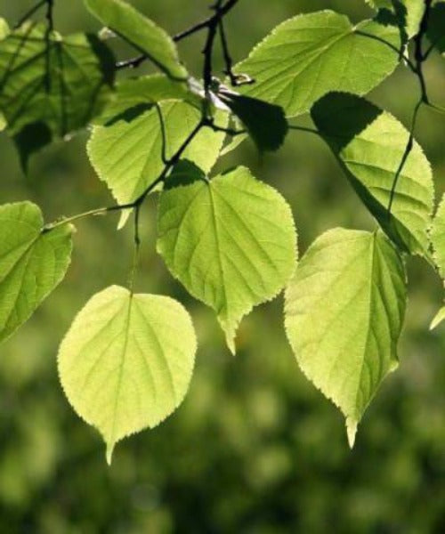 Small Leaved Lime Trees - Tilia cordata - Trees to Plant