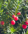 Yew Trees - Taxus baccata - Trees to Plant