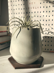 Angled Air Plant