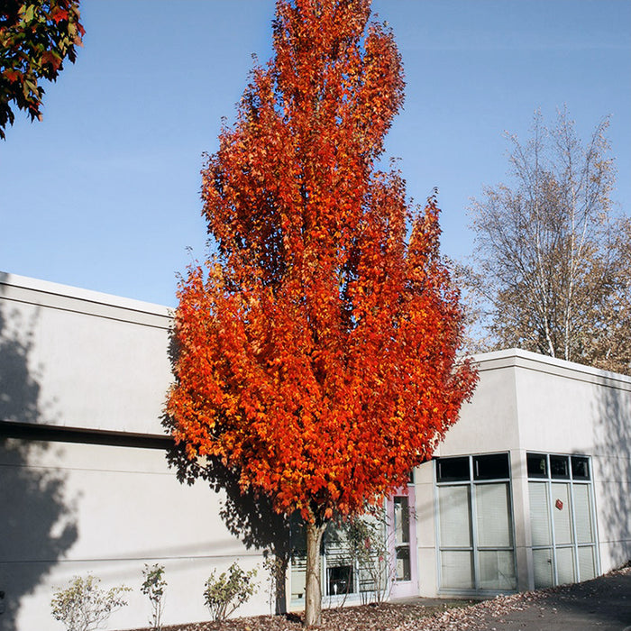 Acer armstrong maple