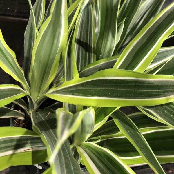 Dracaena Green Stripes