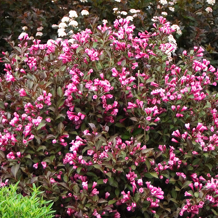 Weigela Florida Fine Wine