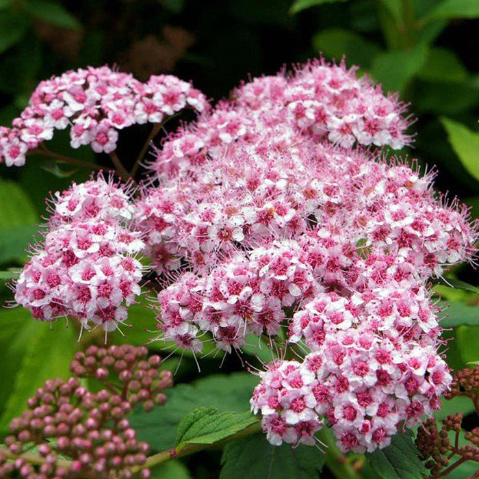 Spirea green carpet