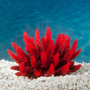 Sporn Acropora Plant Red/Green