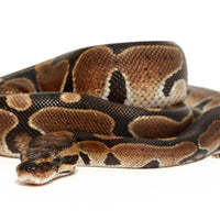 Normal Ball Python