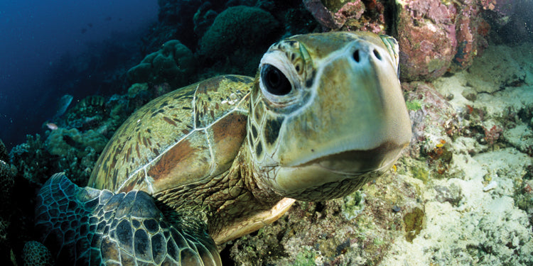 Sea Life Projects, Part 2: Sorting Turtles—with FREE Download!