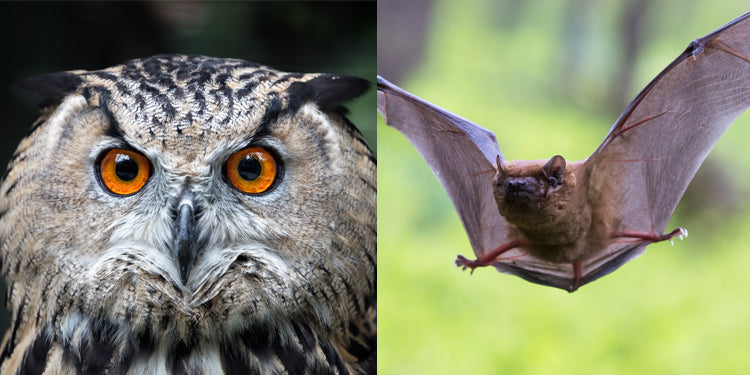 Classic Post: Teaching Similarities and Differences: Bats & Owls—with FREE Download