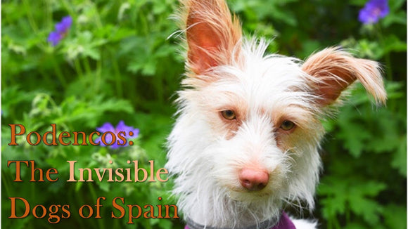 Podencos - The Invisible Dogs of Spain