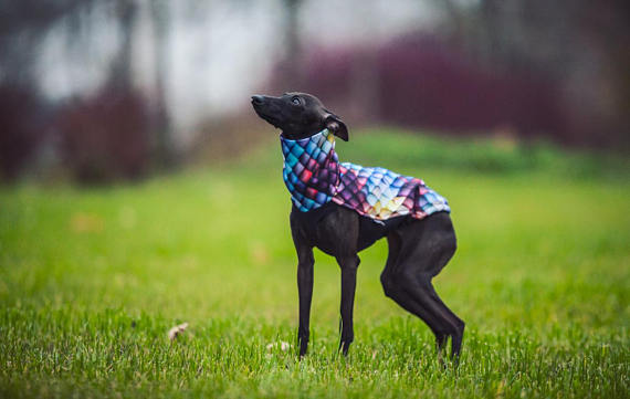 Waterproof Dragon Print Jacket for Italian Greyhound/Sighthounds