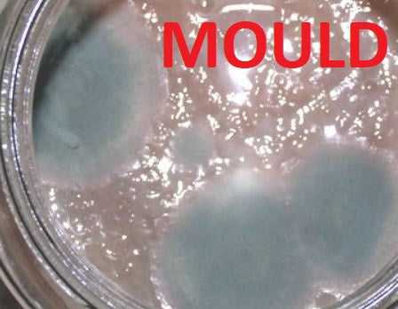THIN SCOBY WITH MOULD MOLD