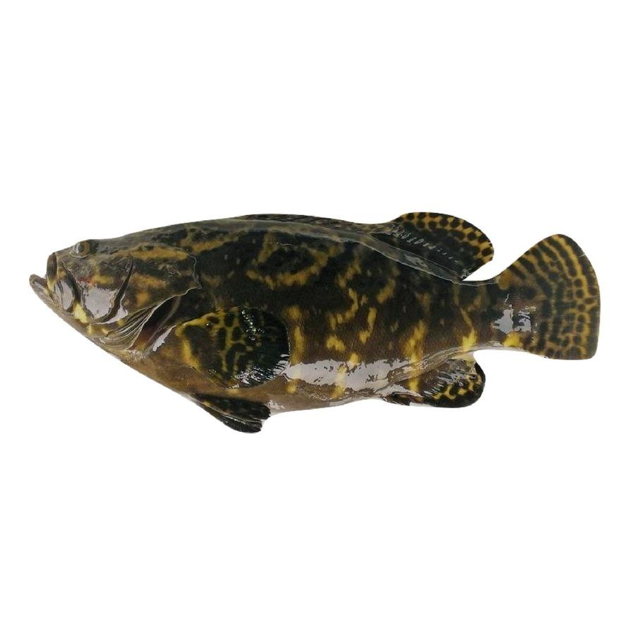 Live Pearl Grouper (Approx. 500 - 600g)