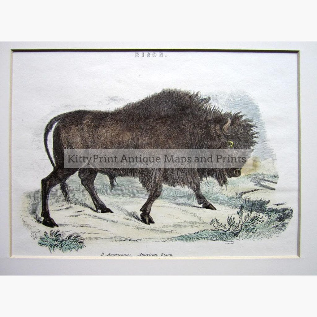 American Bison c.1880 Prints KittyPrint 1800s Monkeys & Primates