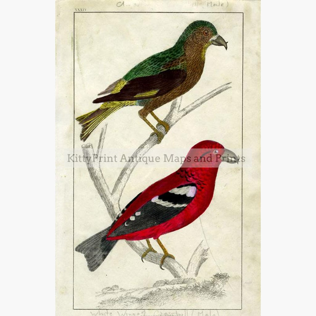 American Crossbill c.1840 Prints KittyPrint 1800s Birds