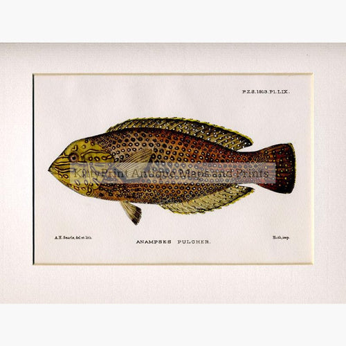Anampses Pulcher c.1860 Prints KittyPrint 1800s Fish