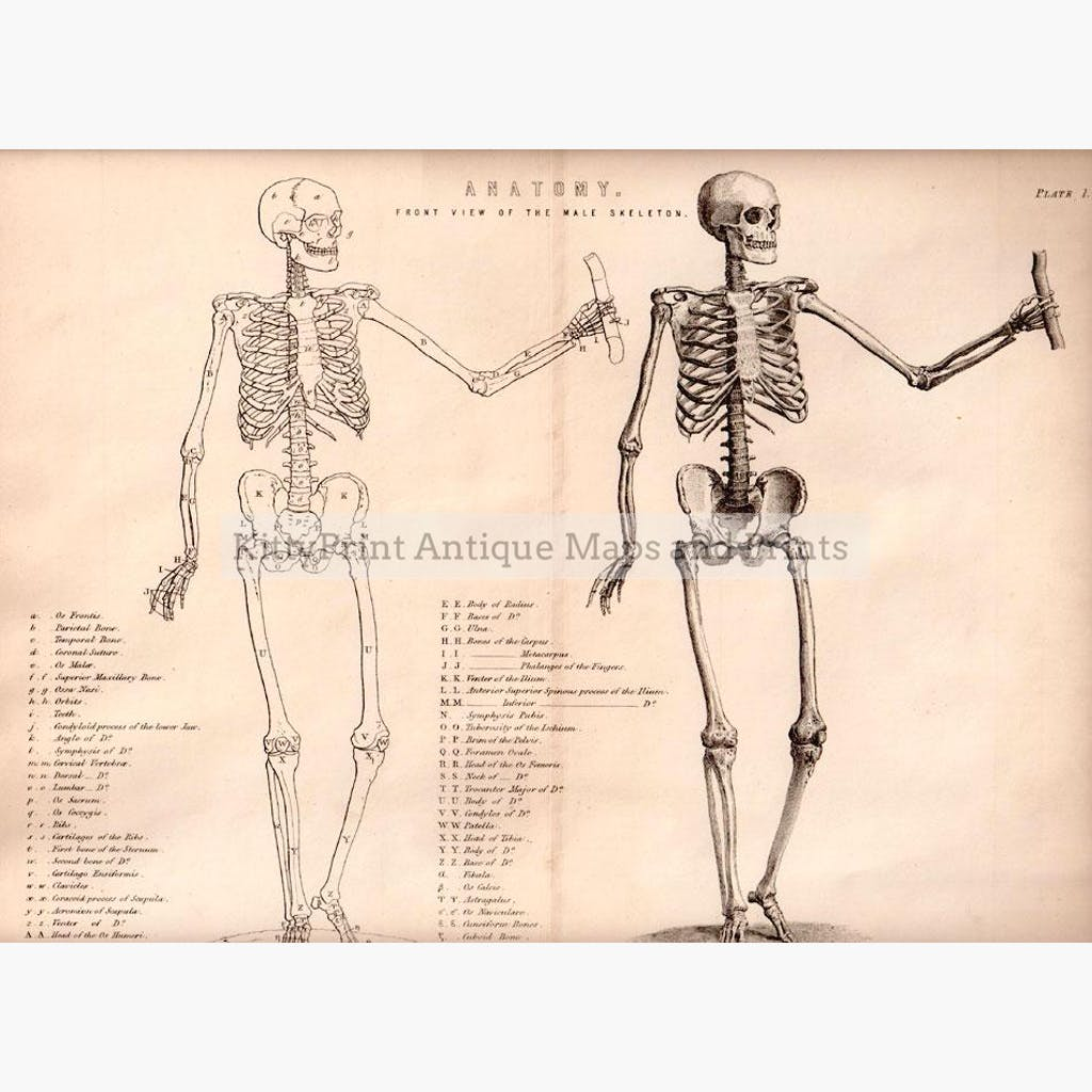 Antique Print Anatomy Front View Of The Male Skeleton C1880